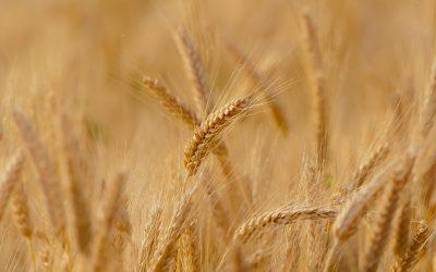 Marked for Harvest